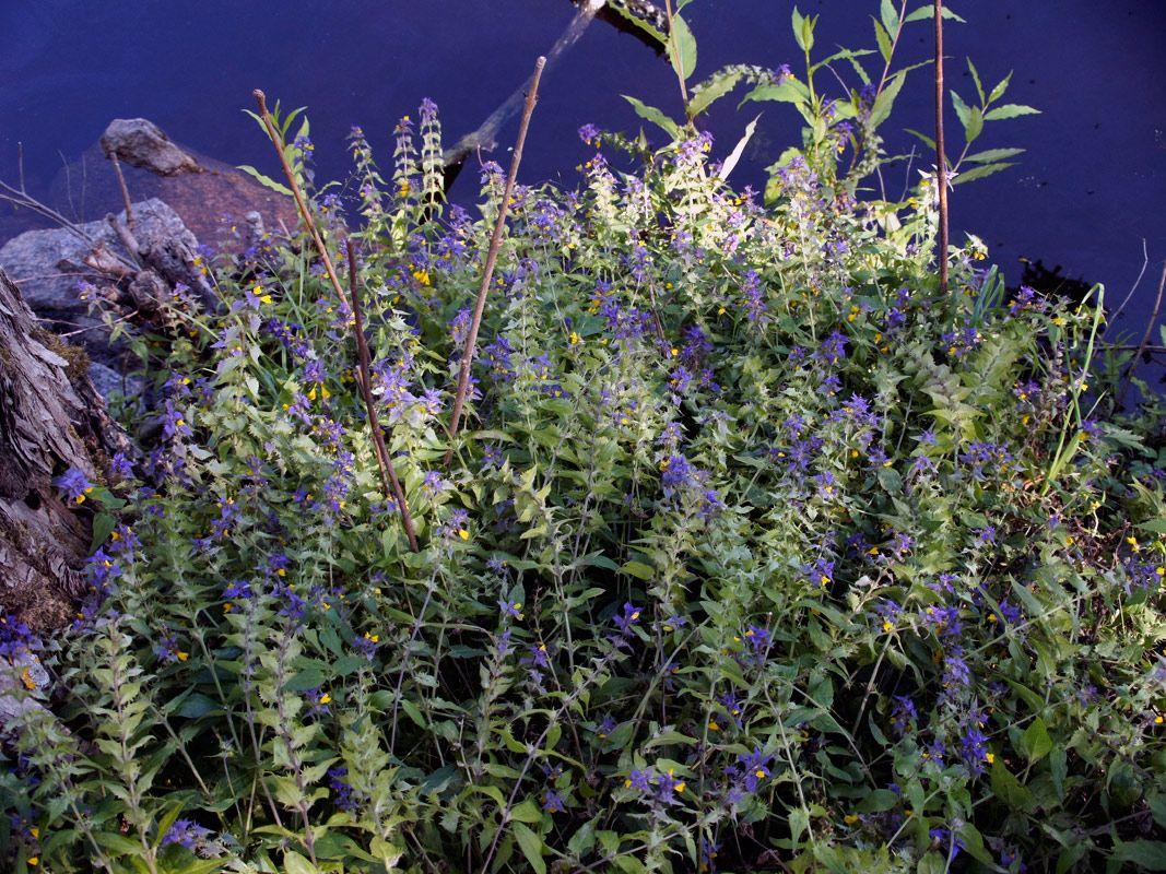 Lehtomaitikka, Melampyrum nemorosum - Kukkakasvit - LuontoPortti
