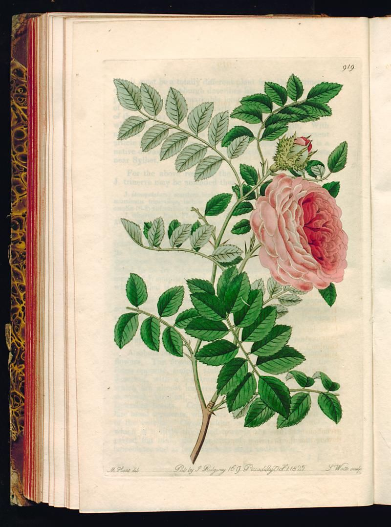 Rosa microphylla. Small-leaved Chinese Rose. - The Botanical register - 1825