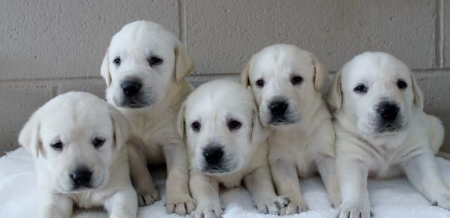 White Labs For Sale Damascus Way Labradors Lab Puppies Labrador Retriever Labrador