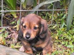 Mini Dachshund Pup Miniature Dachshund Puppies Www Pups4sale Com Au Dachshund Puppy Miniature Dachshund Puppies Dachshund Puppies For Sale