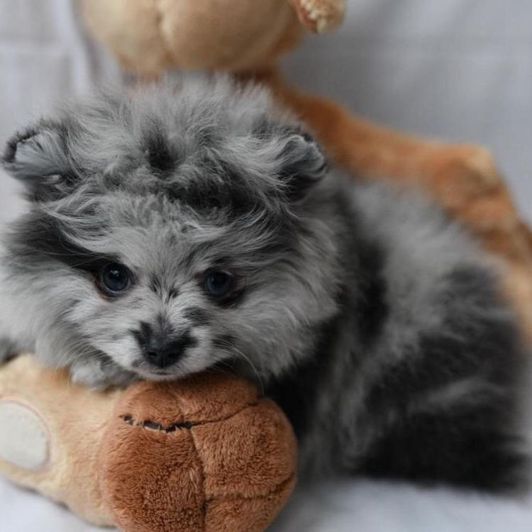 Tiny Pomeranian S For Sale Call Text 313 635 9214 Beautiful Pomeranian Puppies That Have Bee With Images Pomeranian Puppy Teacup Puppy Dog Beds Corgi Puppies For Sale