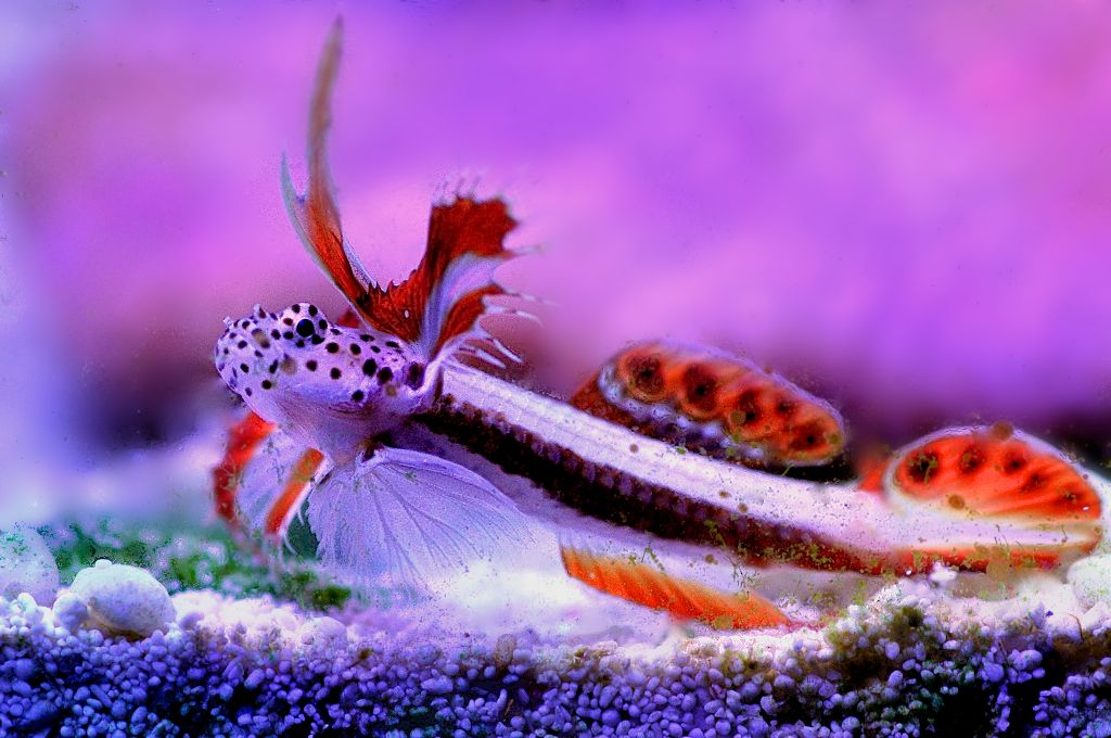 Flaming prawn goby future tank pinterest fish for Red saltwater fish