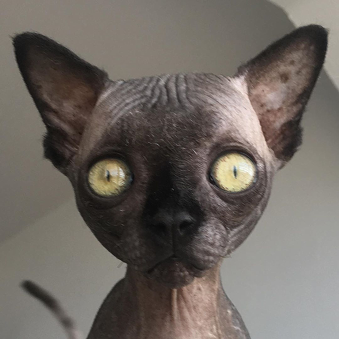 Meet The Incredibly Cute Sphynx Kitten With Hydrocephalus Who Loves Going On Adventures With Her Wonderful Family In 2020 Cat Breeder Kitten Cats