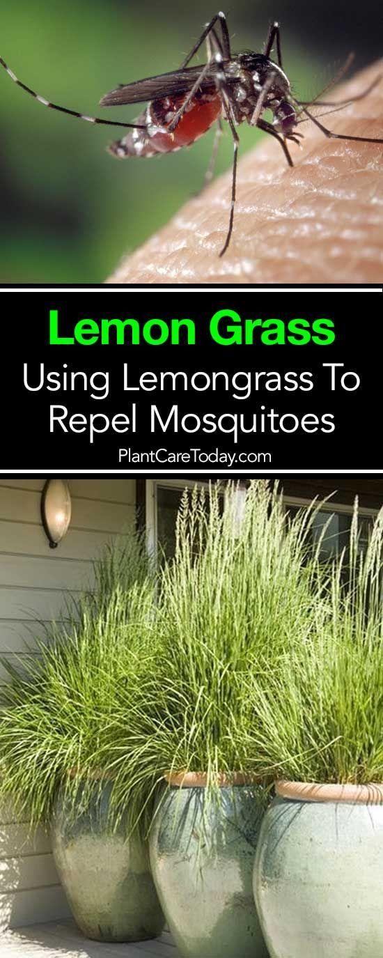 Does Lemongrass Repel Mosquitoes Lemongrass Plant Lemon Grass No Grass Backyard