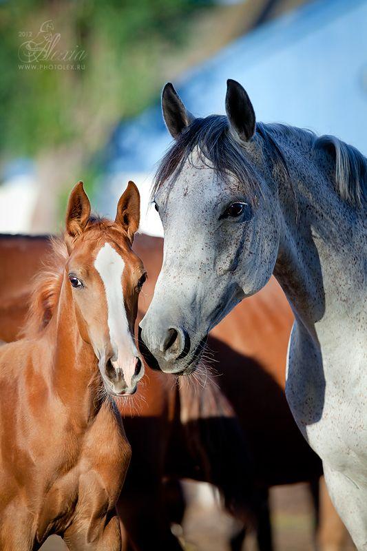 жеребята либерти фото | Фотографии лошадей, Арабские ...
