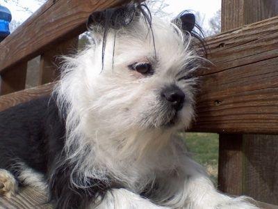 Boston Terrier Shih Tzu Mix Boshih At 2 Years Old Dogs Hybrid