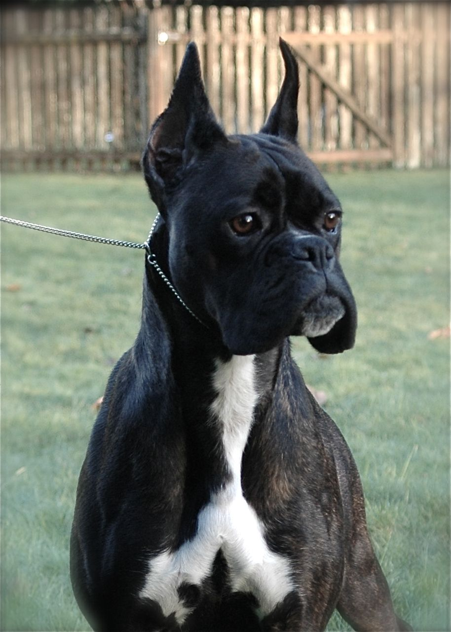 Black And White Boxer Puppy Names Ideas