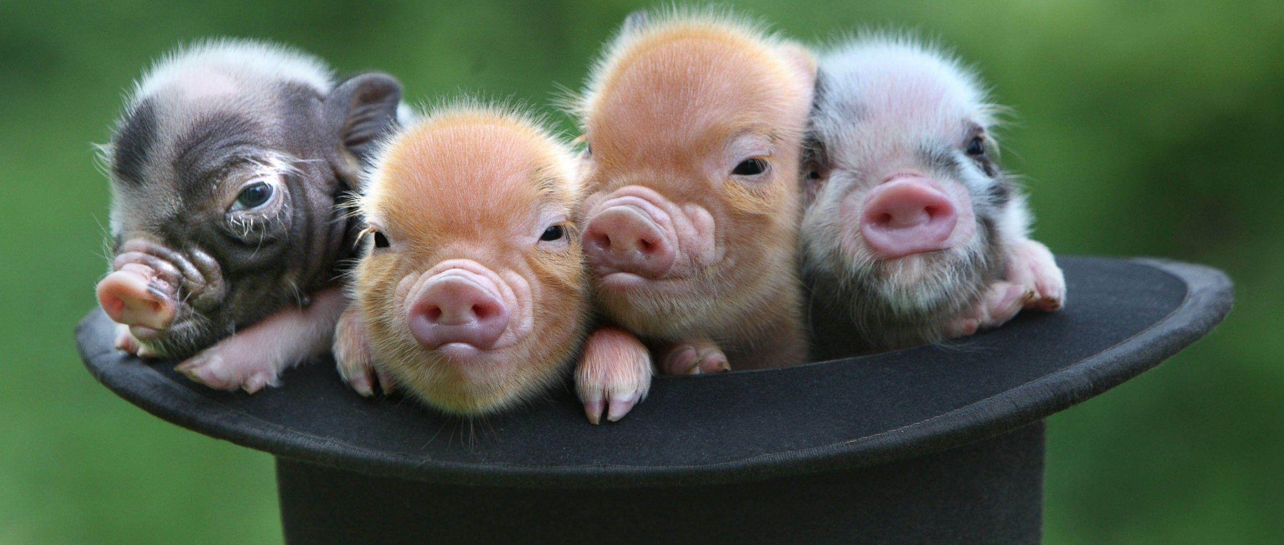 Свинья прикольные картинки высокое качество