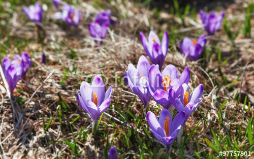 "Download the royalty-free photo ""mountain meadow in spring, covered with many crocus flowers "" created by goodcatfelix at the lowest price on Fotolia.com. Browse our cheap image bank online to find the perfect stock photo for your marketing projects!"