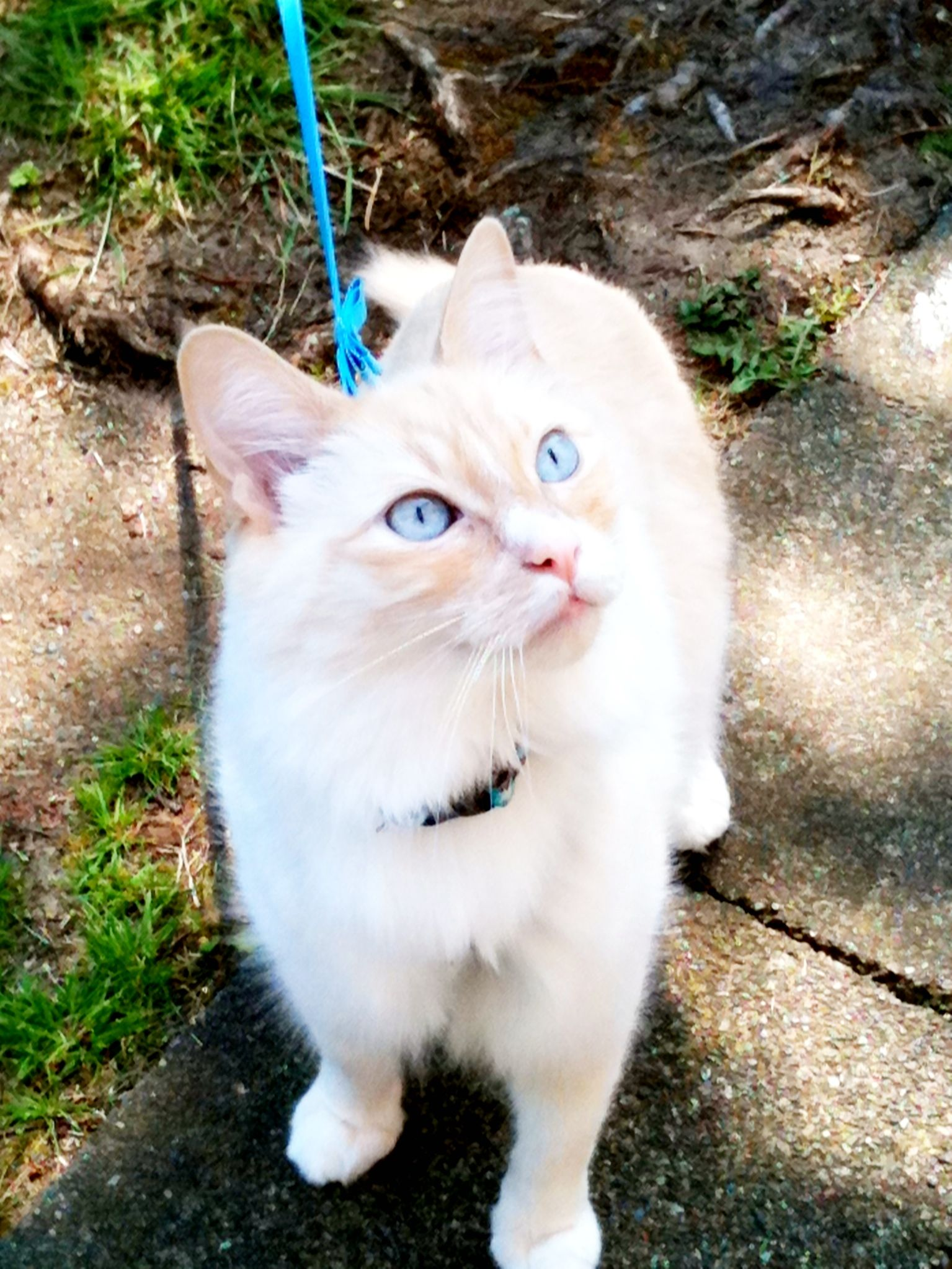 My Dexter Flame Point Siamese X Persian Cute Cats Pet Birds Great Cat