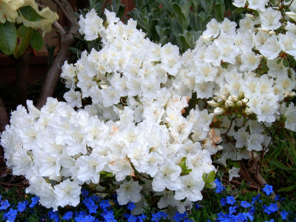 Azalea Hino White Hino Crimson X Yedoense Var Poukhanense X Desiree Azaleas White Azalea Evergreen Shrubs