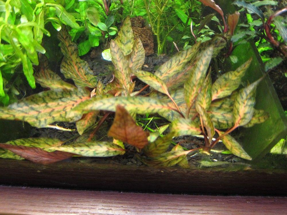 "Cryptocoryne nurii ""Rosen Maiden"" Bt.Perah | Freshwater ..."