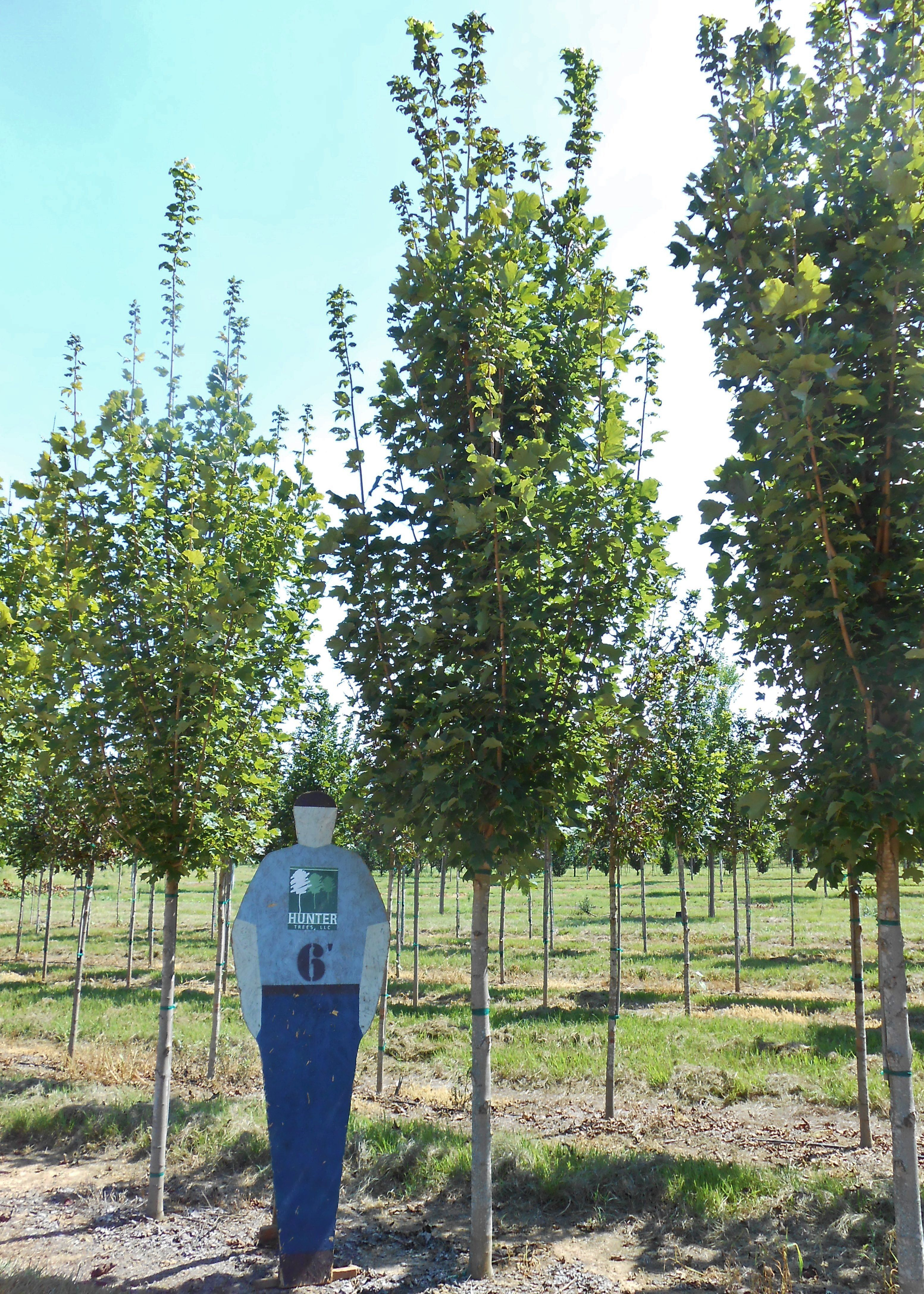 Belle Tower Maple - Adapted to heat and humidity. Summer foliage is ...