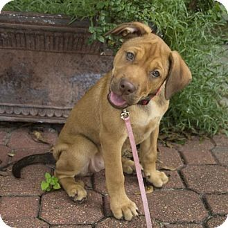 Houston Tx Vizsla Shar Pei Mix Meet Pepper Ann A Puppy For