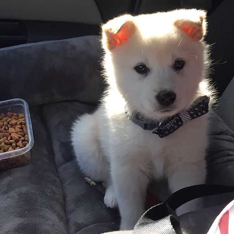 Imo Inu American Eskimo Dog Shiba Inu Mix Named Kodak American Eskimo Dog Hybrid Dogs Dogs