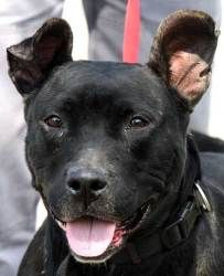 Adopt 557 Lizzie on Animals, Animal shelter, Pitbull