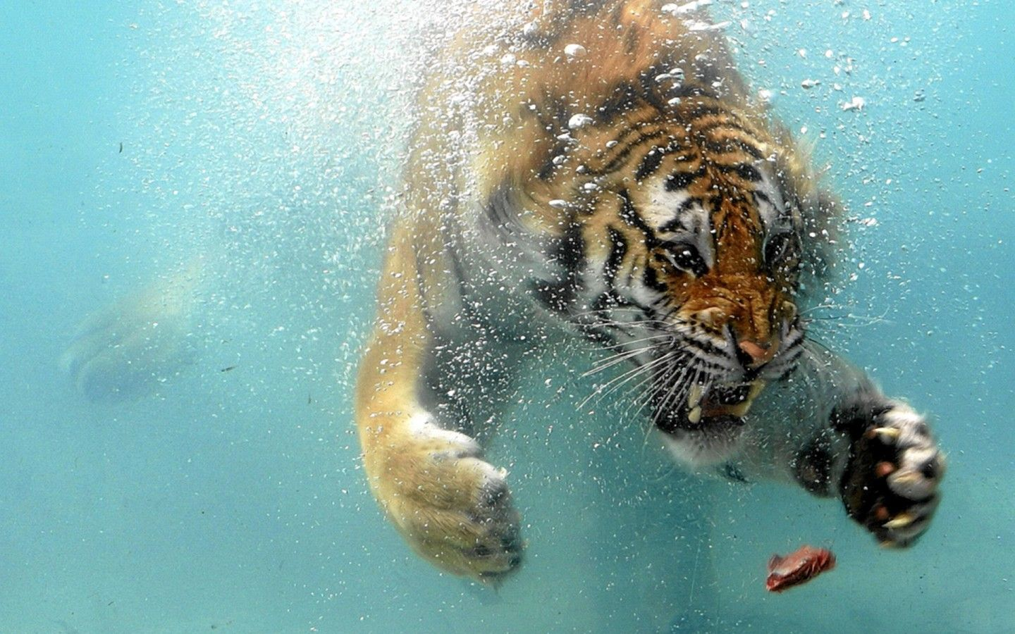 Tiger Attack Images Widescreen 2 Hd Wallpapers So Cute Youll