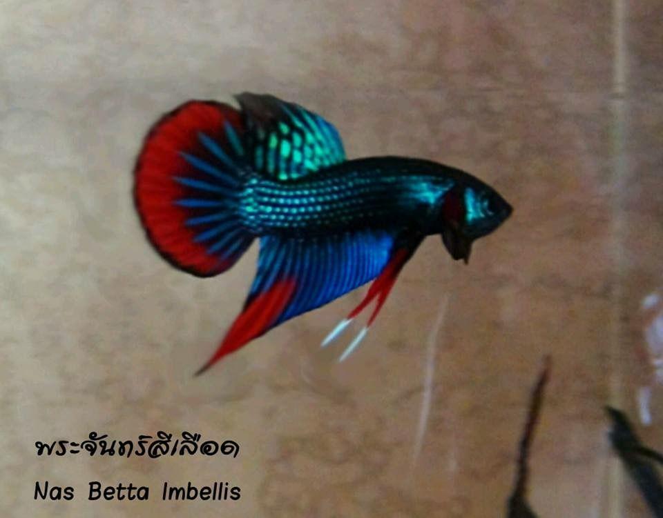 image result for mahachai betta i love de animals pinterest