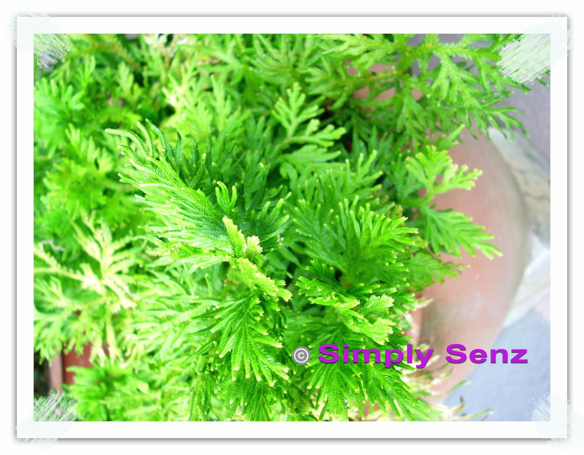 Simply Senz Shi Shang Bo Herbal Home Remes For Nasal Syndrome
