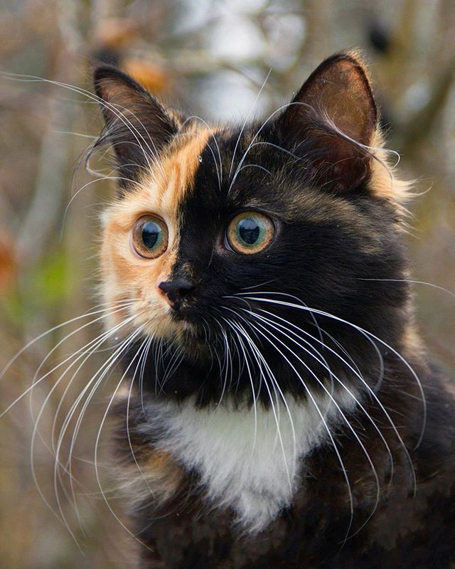 A Gorgeous Tortoiseshell Calico Cat Whose Adorable Face Is