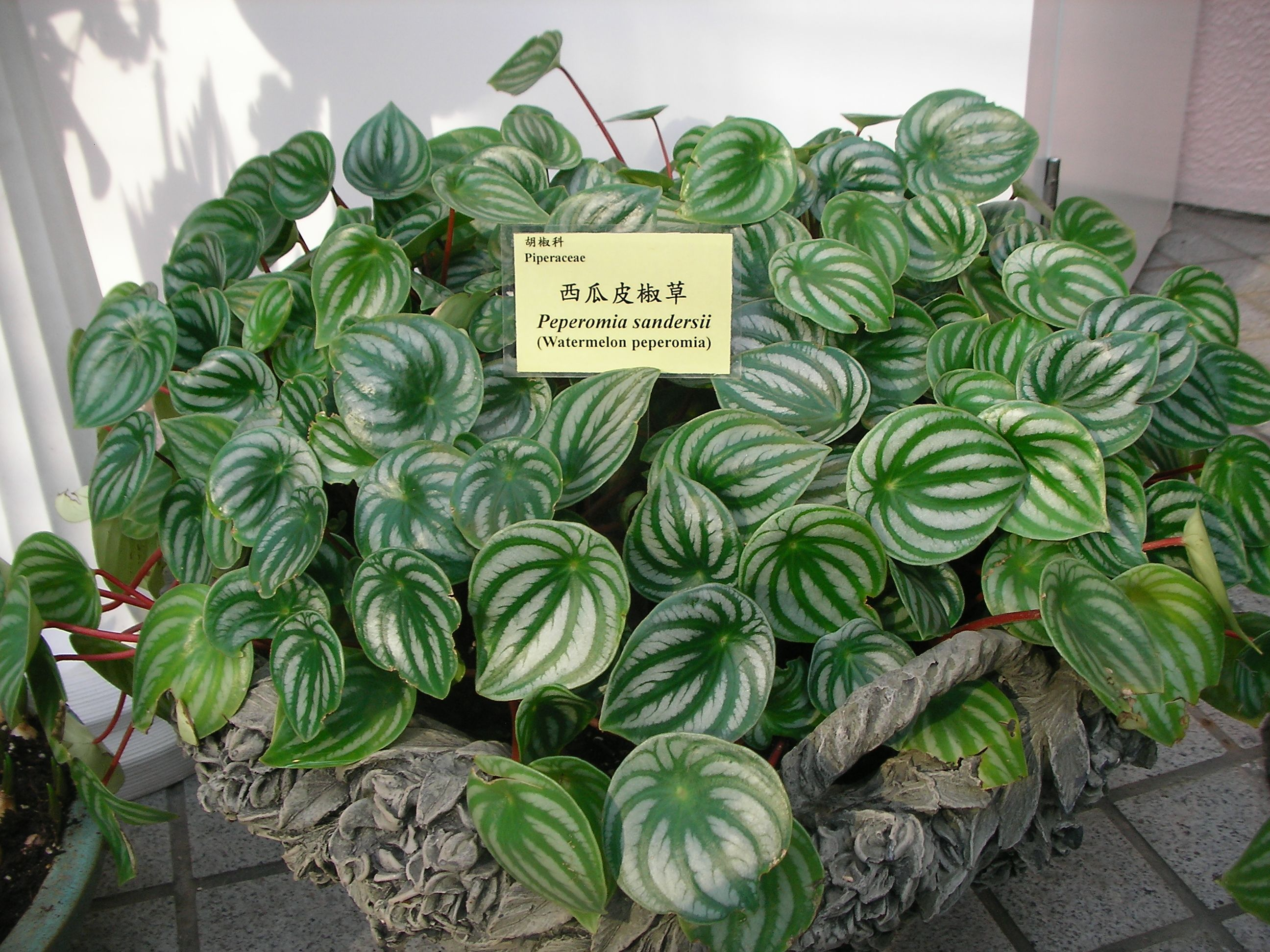 Peperomia Sandersii (P Argyreia Looks Similar) Also Known As Watermellon