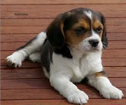 Beagle Cavalier Cross Beagle Puppy Beagle Dog Cute Dogs Puppies