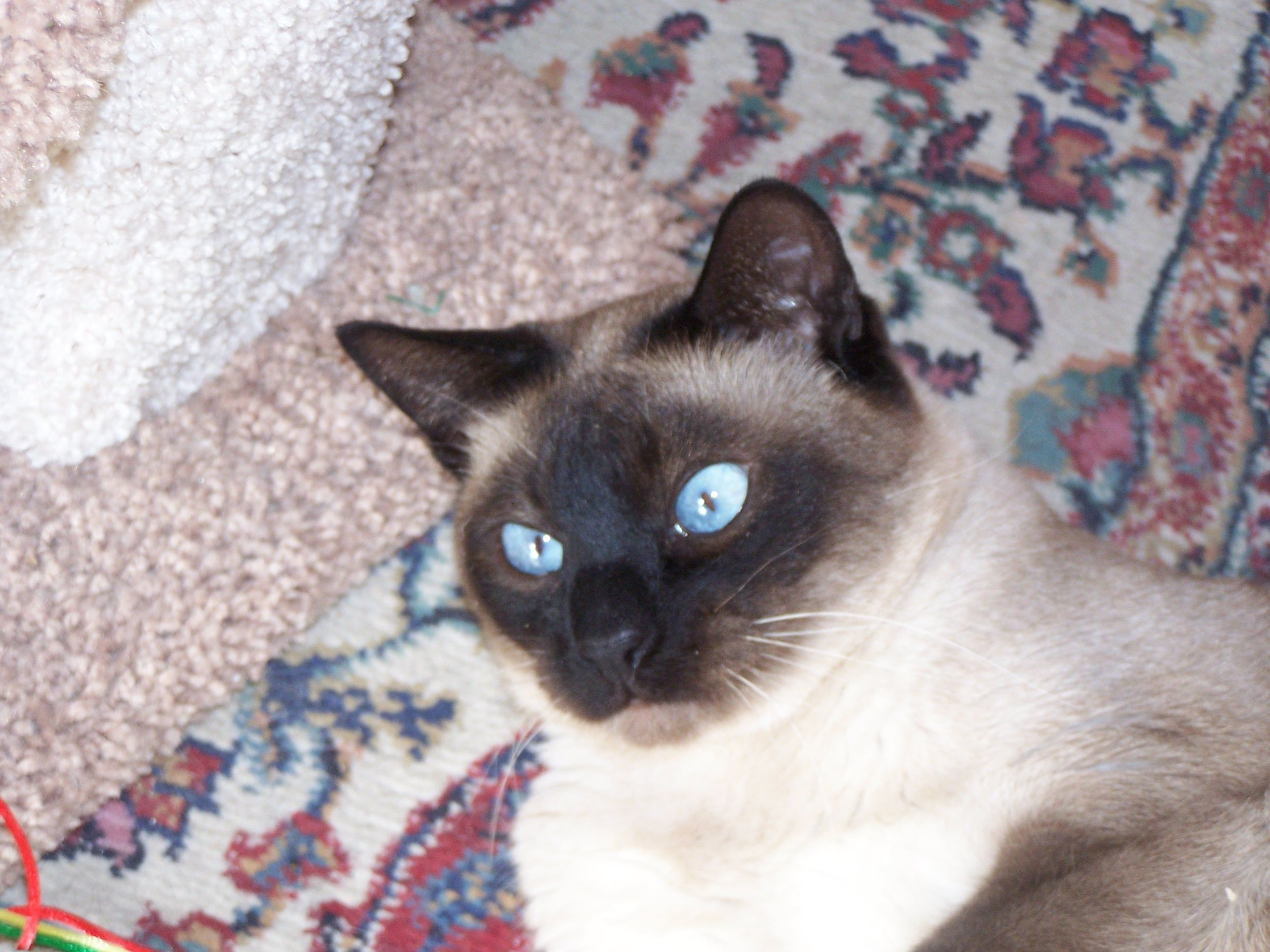 B.B. Cat is my blue eyed baby boy. He is a Siamese and the