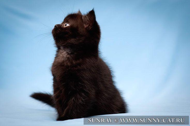 #cats  #cat  #kitten  #kittens  #kitty  #animal  #BritishCat  #BritishCats  #BritishShorthair  #BlackCat #british #shorthair The black british shorthair the female cat Leyla Night SunRay ♀ The female cat | BRI n Breed: british shorthair Color: BRI n - black Birthday: November 17, 2012
