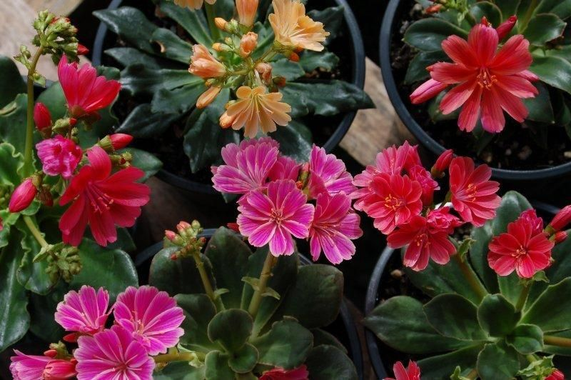 """Lewisia cotyledon Hyb. 'Sunset Strain'   This hybrid selection has evergreen succulent foliage and showy, bold colored flowers in various colors. 10″ X 12"""" Grow in sun to part shade, in gritty, well-drained soil, topdress with grit. Does best with some afternoon shade in hot summer climates. Hardy to –10 degrees F. Portulacaceae"""