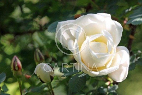 Juhannusruusu. juhannusruusu, kesäkukka, kukka, pensasruusu, rosa pimpinellifolia, ruusu, ruusukasvi, valkoinen