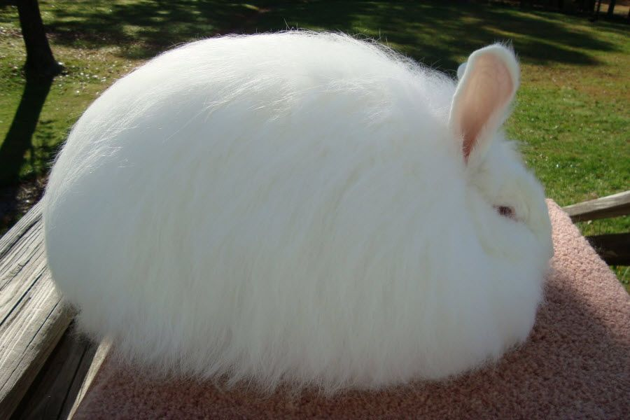 giant angora with a minimum weight ranging between 9 5 to 10 pounds