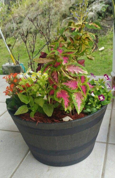 Mescla de verg enza payasitos y otras plantas de sol - Plantas trepadoras de sol ...