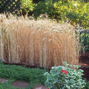 From Field to Flour How to Grow Wheat  Real Food is part of garden Decoration How To Grow - Learn about the types of wheat and how to grow wheat in your garden or on your homestead