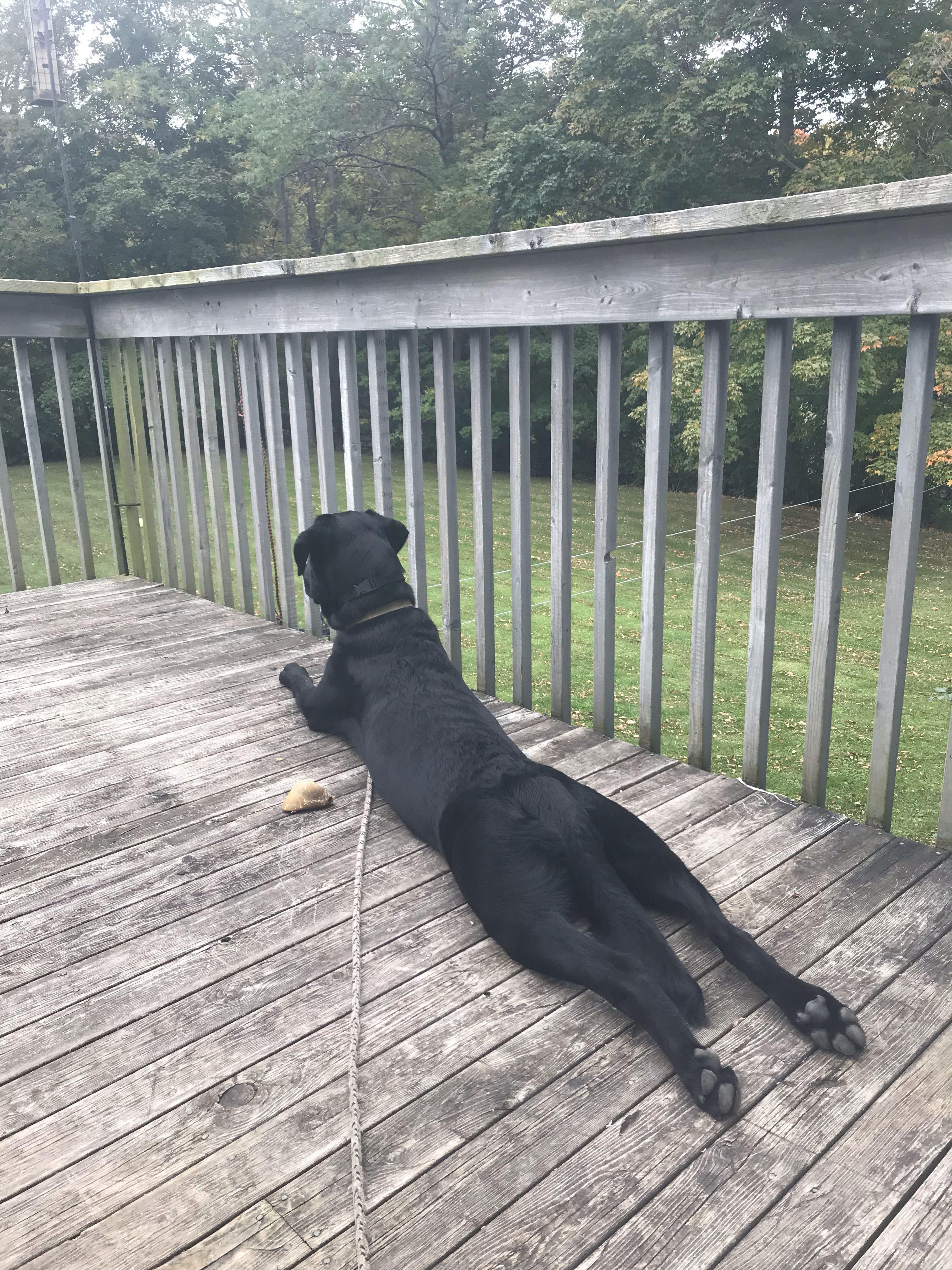 9 Month Old Black Lab Blacklabradorpuppy9weeksold Labrador