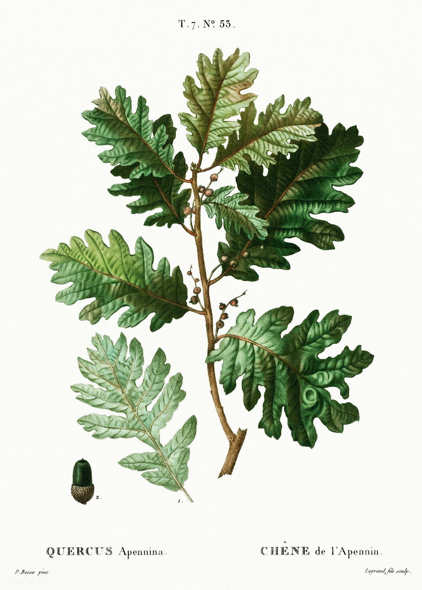 Hungarian oak (Quercus Apennina) from Traité des Arbres et