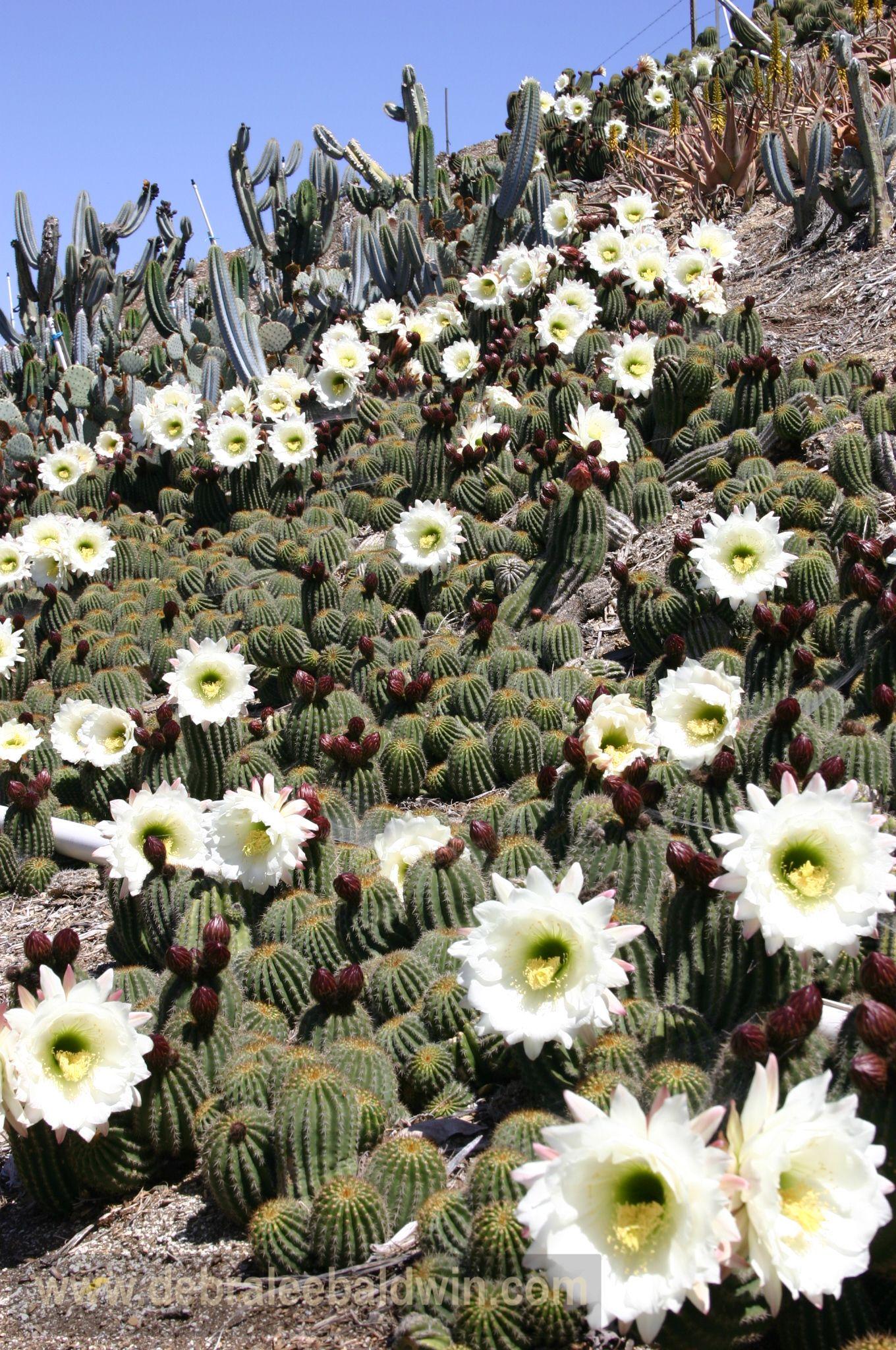 Trichocereus In Bloom
