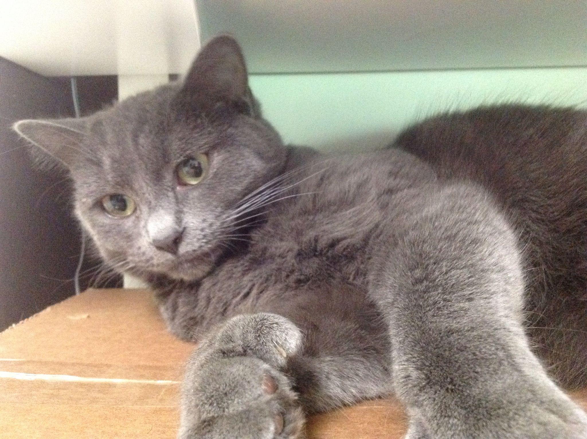 chillin Russian blue, Russian blue cat, Grey cats