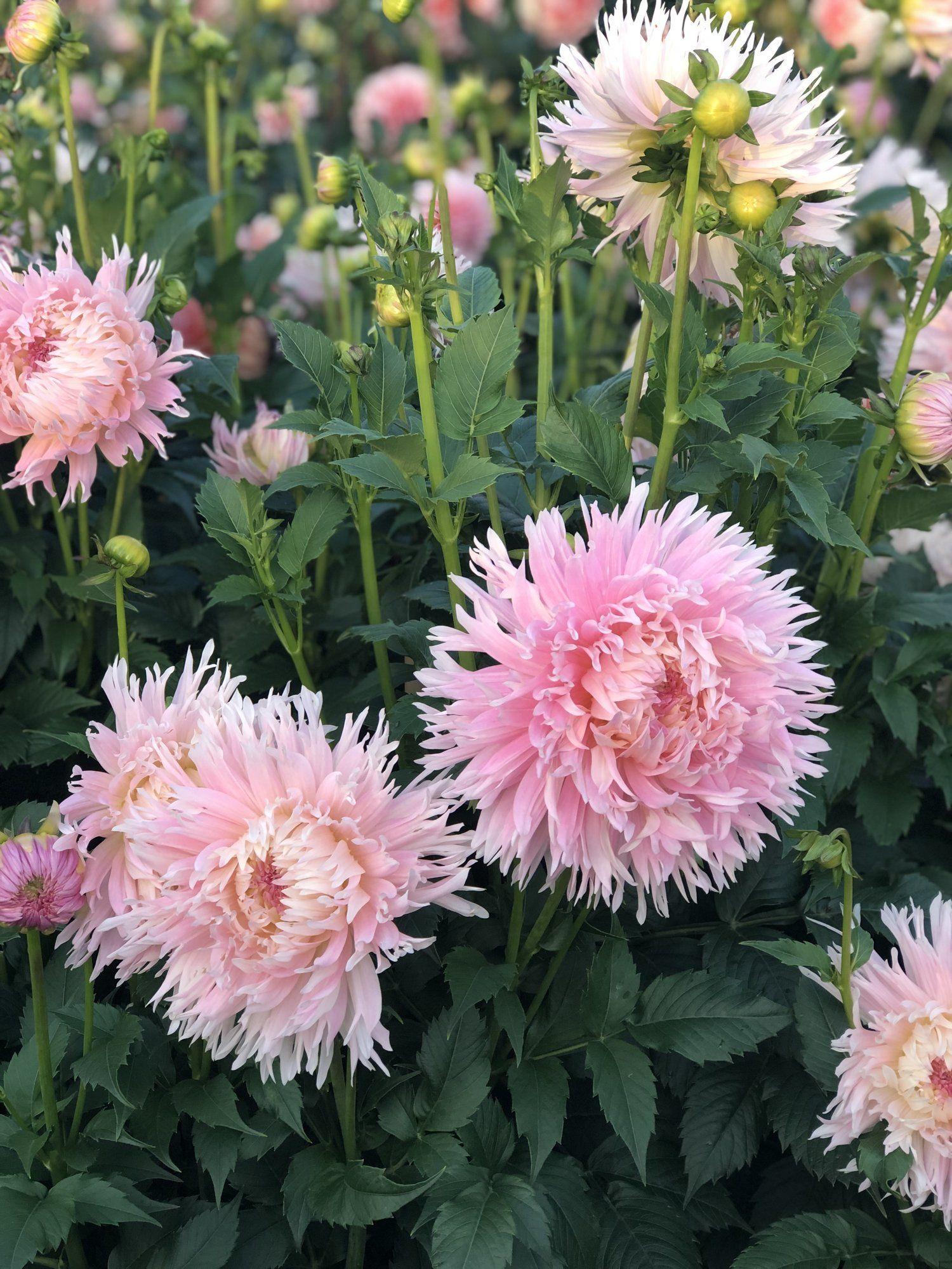 Nadia Ruth Dahlias By Julie Dahlia Beautiful Blooms Bloom