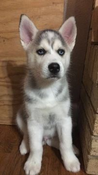 Litter Of 9 Siberian Husky Puppies For Sale In Joplin Mo Adn
