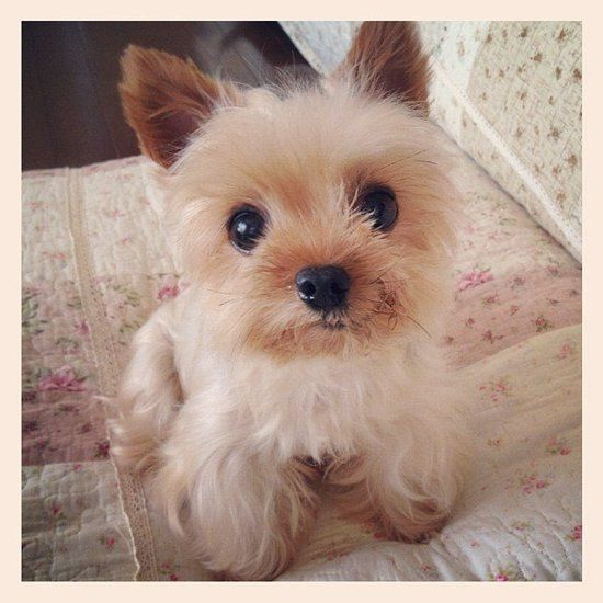 Darling Yorkie Pictures, Photos, and Images for Facebook, Tumblr, Pinterest, and Twitter