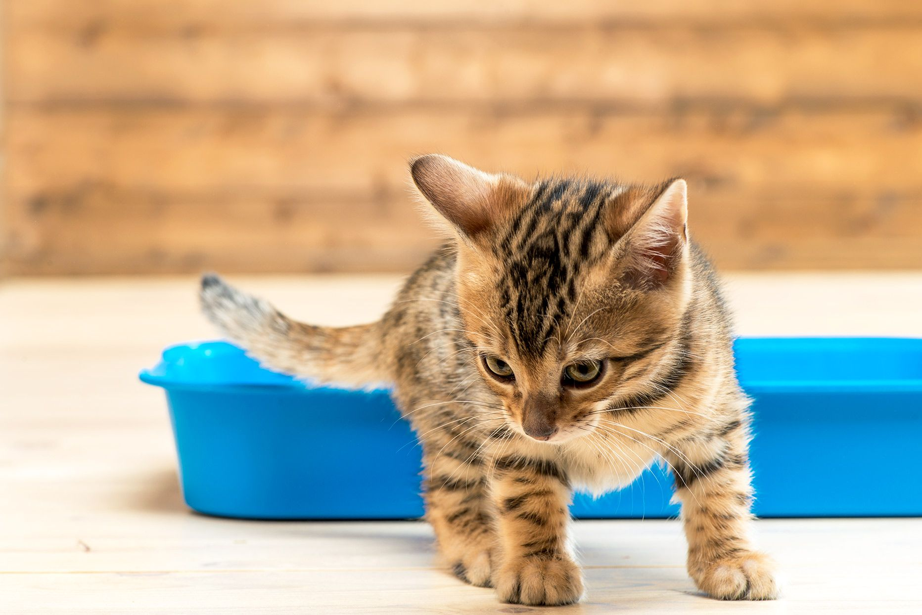 How To House Train A Cat House Training Cats Training A Kitten