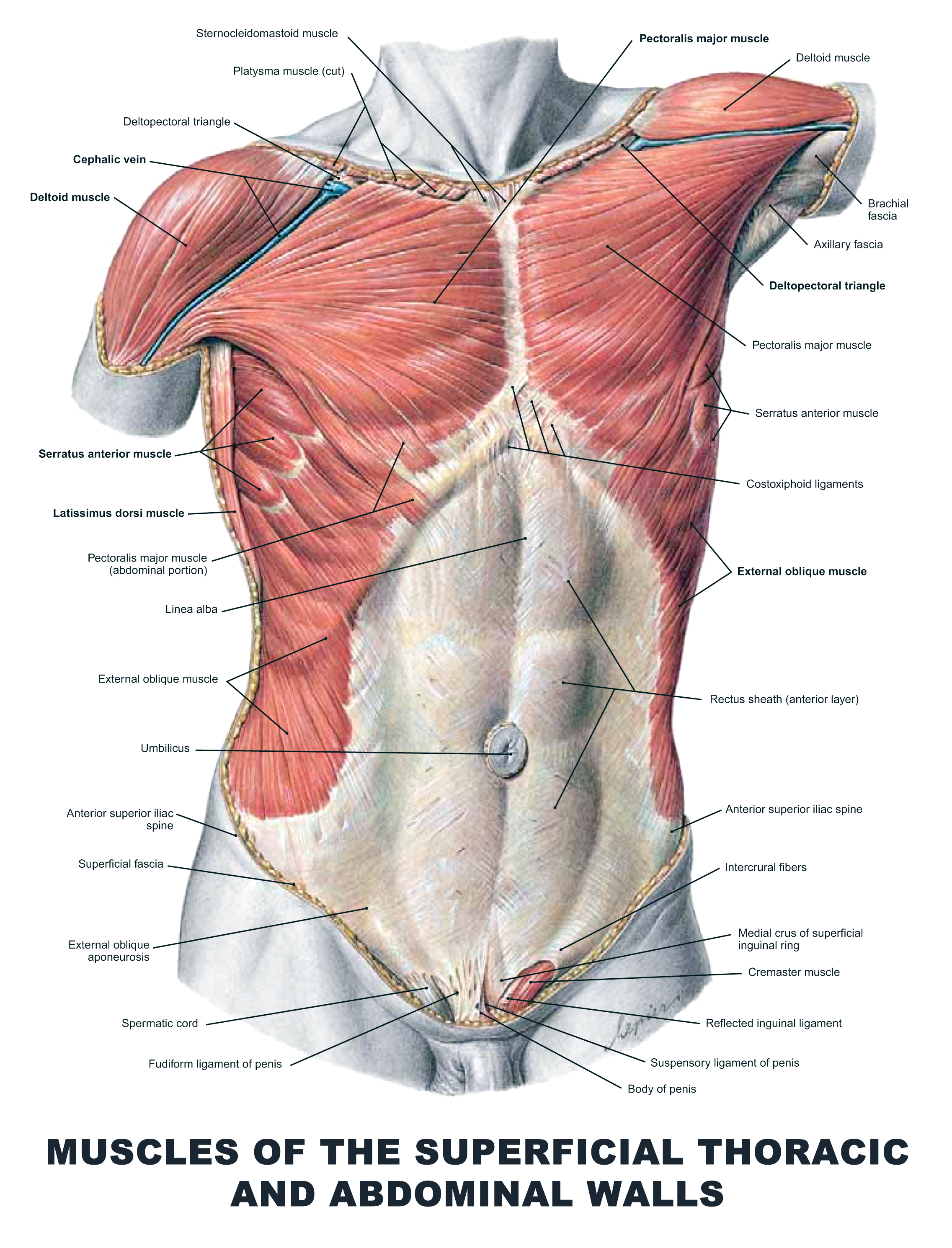 Muscles Of The Superficial Thoracic And Abdominal Walls Anatomy