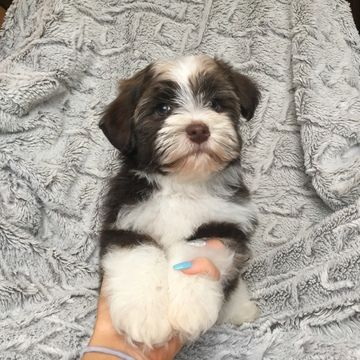 Havanese puppy for sale in HOUSTON, TX. ADN25163 on