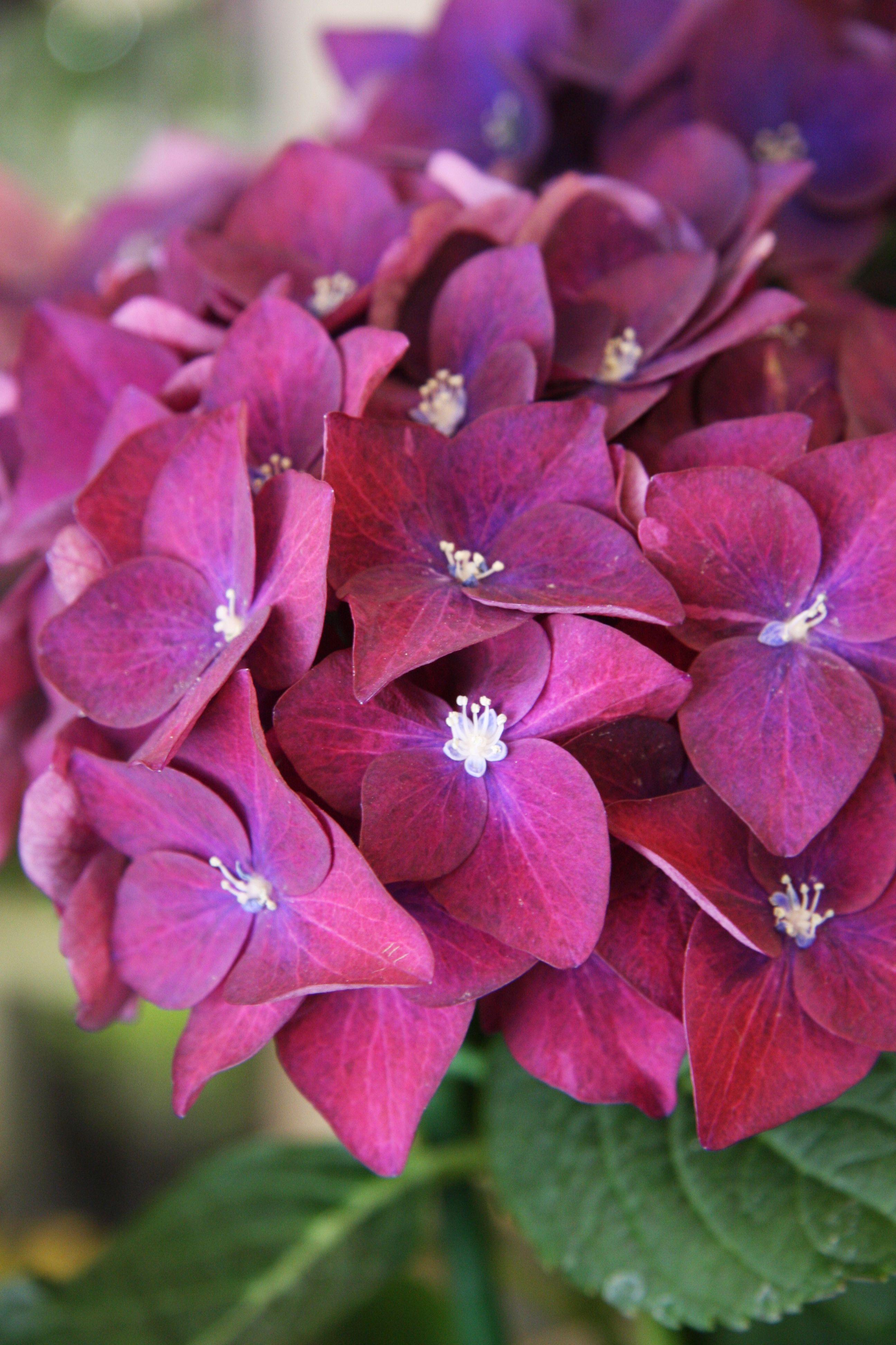 Hydrangea Green Shadow Pretty Flowers Pictures Flowers Perennials Love Flowers