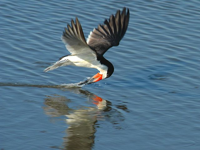 Black Skimmer Cape May Point NJ - Bing Images | On The Way