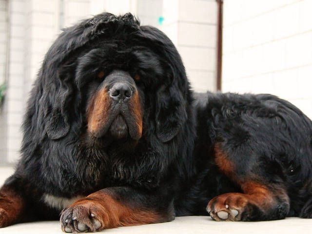 Tibetan Mastiffs Tibetan Mastiff Lion Head For Sale Adoption In
