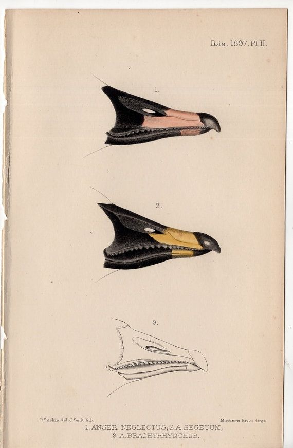 C1901 Ibis Bird Beaks Lithograph Original Antique Print Of Bird