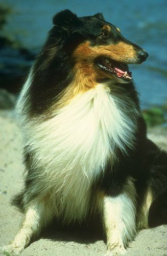 Collie Sheep Dog Puppy Dogs Rough Collie