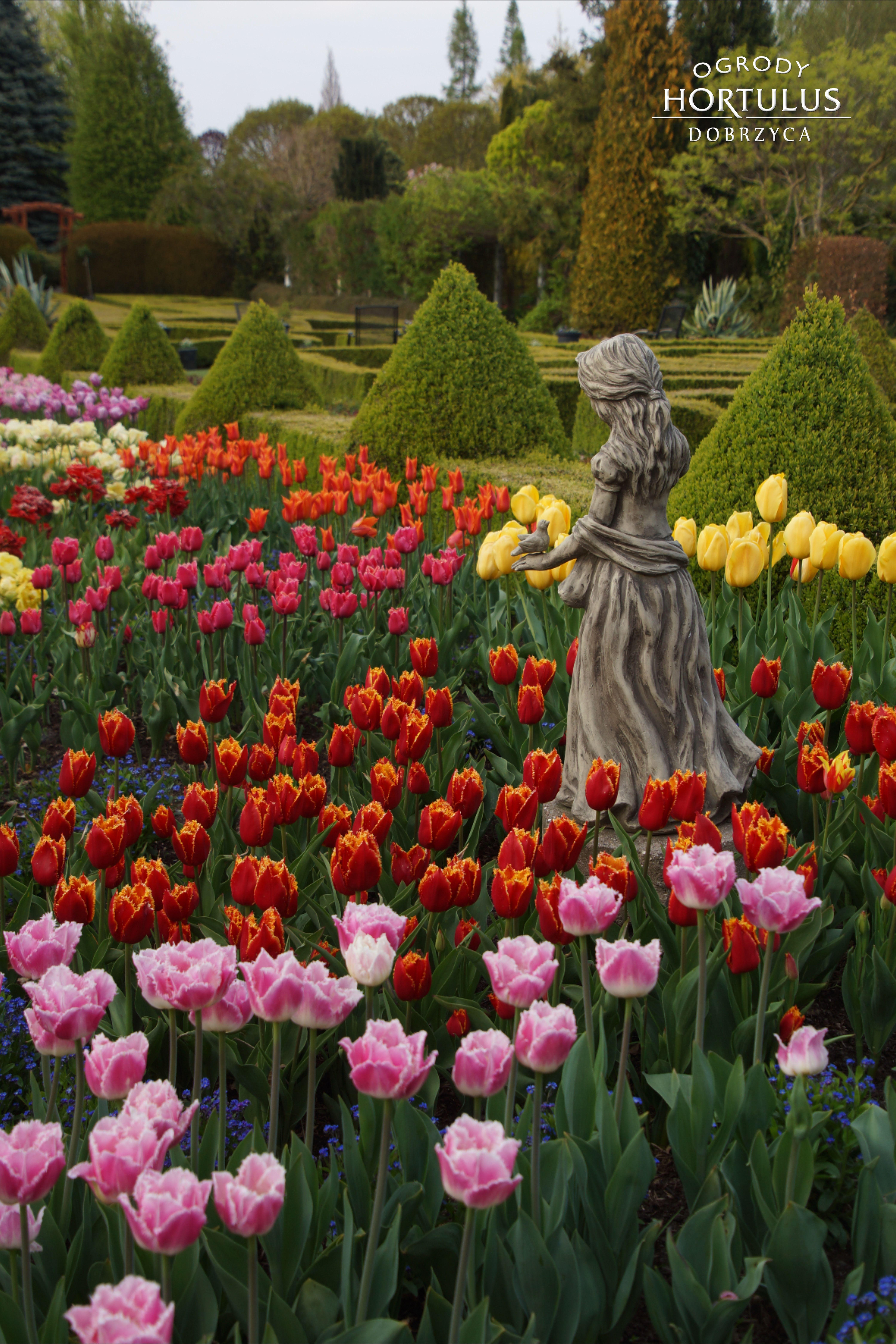 Kolorowe Tulipany W Ogrodzie Bukszpan Formowany Rzezba Ogrodowa W Otoczeniu Tulipanow Hortulus Plants