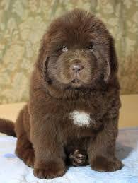 Newfoundland Puppy Tiere Hunde